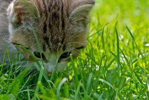 Kitten smelling the grass by attomanen