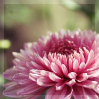 Chrysanthemum by CuCat
