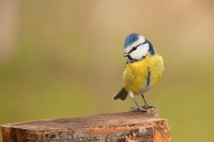 Blue Tit by Tom-Mosack