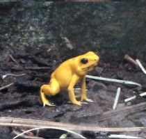yellow frog by 95Nightgirl