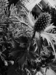 thistle by Anna-Earwig