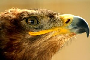 Steppe Eagle by Tinap