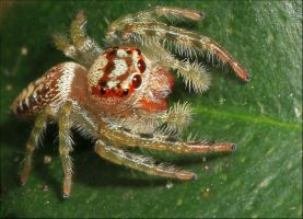 Another Jumping Spider. by Firey-Sunset