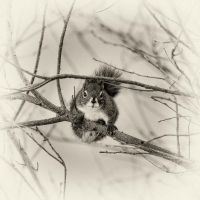 Winter Squirrel by pfister