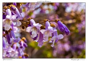 purple tree blossoms by yellowcaseartist