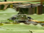 Frog of the Pond 3 by mrscats