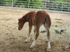 Girl Foal 1 by Stock-By-Crystal