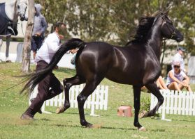 STOCK - TotR Arabians 2013-344 by fillyrox