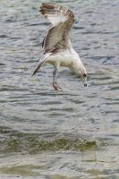 Jumping gull by CyclicalCore