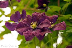 Clematis 2015 - 1 by Martina-WW