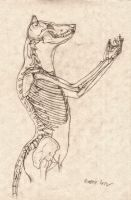 Wolf Anthro Anatomy {Upper Bone Structure} by RussellTuller