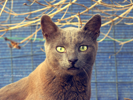 Russian Blue Cat 2 by bibarry