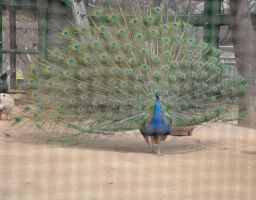Handsome peacock (IN KOREA) by chokocake88