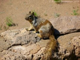 Rock Squirrel by amorphousdebris
