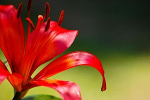 red lily 3 by xthumbtakx