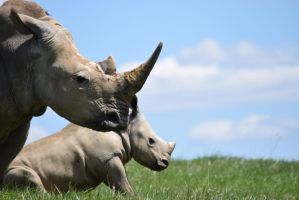 Southern White Rhinoceros by StormPetral0509