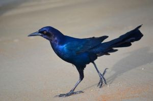 Boat-Tailed Grackle by Crixans