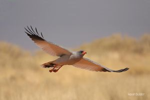 Chanting Goshawk mid-flight by Kbulder