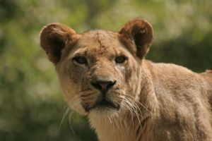 Lioness - 2 by Seductive-Stock