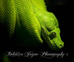 Green Snake by gingersnap16