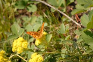 Butterfly by Bressom
