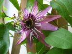 Passion flower by azeemb