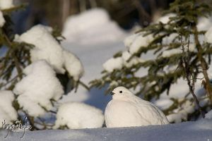 White Ptarmigan by Robin-Hugh