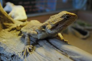 Bearded dragon by BackSeatWisdom