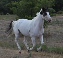 Marshmallow canter by Feather-Stock