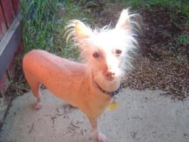Chinese Hairless Crested Dog by Eveco