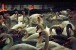 Swan pond by arcipello