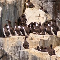 Guillemots Gathering 2 by svendo