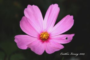 Pink Flower by Caity-lyn