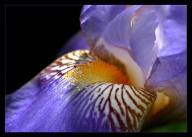 The Lily by magikfoto