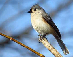 Portrait of a Titmouse by Synari