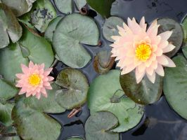 Pink water lilies 2 by greyrowan
