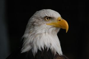 American bald eagle - the symbol of the United Sta by Imarsis