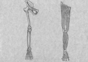 Leg Bone and Muscle Anatomy by xTrickx