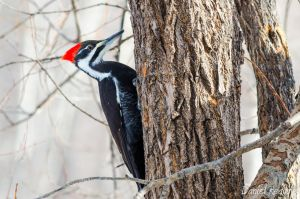 Pileated Woodpecker by DanielReaume