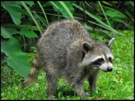 Raccoon in Brownell Park by SalemCat
