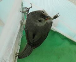 Tufted Titmouse Eviction by Destroyah93