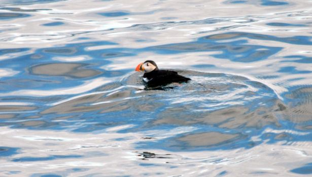 Puffin at sea by ReAcH-fOr-TeH-sTaRrZ
