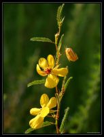 Partridge Pea 20D0032947 by Cristian-M