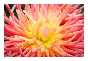 Yellow to Pink by sG-Photographie