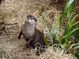 Otter by Divulged