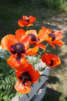 Poppies by Elswyth-the-Dryad
