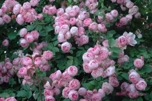 Roses by wera100243