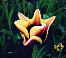 Tulip2 by firefly994