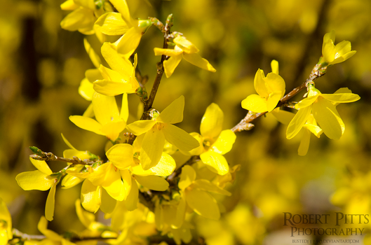 Golden Bells (Forsythia) by Busted11290