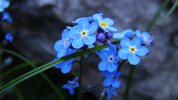 Forget-Me-Not by RyanHaas